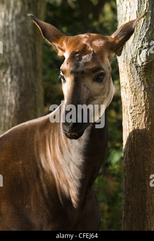 Okapi or Okapia johnstoni, a shy animal, has a striped backside, is related to giraffe and lives in Congo, Africa - Stock Photo