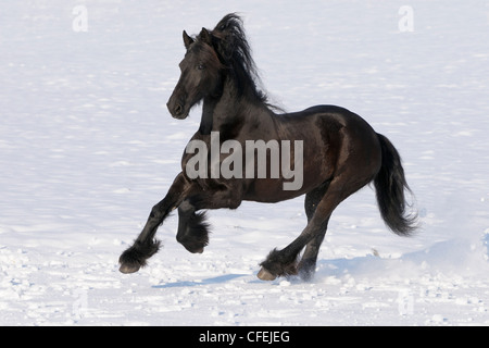 Friesian horse galloping in winter - Stock Photo
