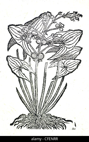 18th century old botanical woodcut of Arrowhead / Sagittaria sagittifolia  Sagitta aquatica major, Bauhin. - Stock Photo