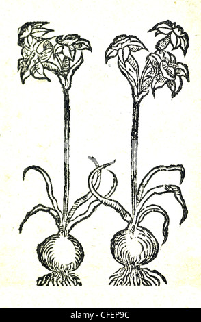18th century old botanical woodcut. Plants for medicine - Narcissus - Stock Photo
