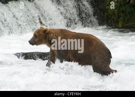 Brown bear fishing for salmon, Brooks Falls, Katmai National Park, Alaska, United States of America, - Stock Photo