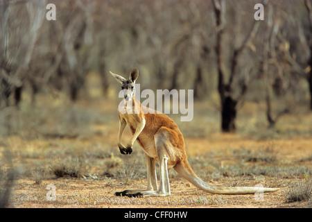 Red Kangaroo, male, Macropus rufus, Sturt National Park, New South Wales, Australia - Stock Photo