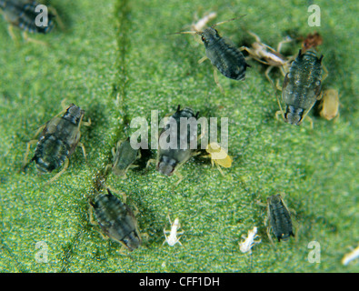 Cotton aphids (Aphis gossypii) on an ornamental plant leaf - Stock Photo