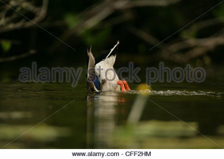 Mallard anas platyrhynchos feeding with bottom up - Stock Photo