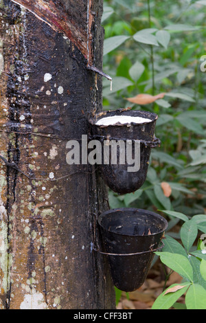Latex being collected from a tapped rubber tree,Dukoue,Ivory Coast ,Cote d'Ivoire,West Africa - Stock Photo