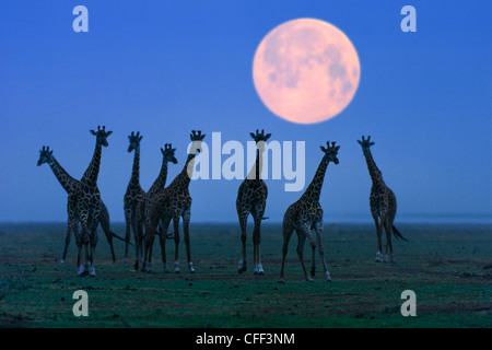 Massai giraffes at full moon, Serengeti, Tanzania, East Africa, Africa - Stock Photo