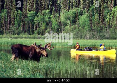 Wildlife viewing photographing bull moose canoe - Stock Photo