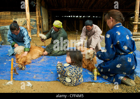 Mongolian nomads shearing cashmere off their goats, Province of Arkhangai, Mongolia, Central Asia, Asia - Stock Photo