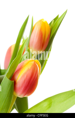 Head of Dutch tulip flower in closeup over white background - Stock Photo