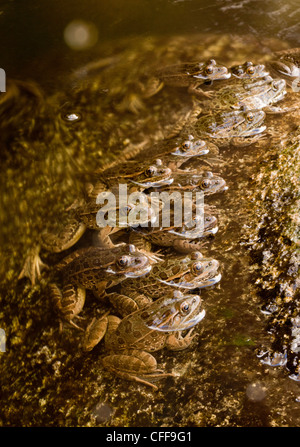 Lowland Leopard Frogs, Lithobates yavapaiensis, lined up in stream to catch prey. Sonoran desert. Arizona, USA - Stock Photo