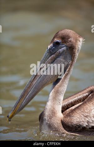 Immature Brown Pelican, Pelecanus occidentalis, on Gatun lake, Republic of Panama. - Stock Photo