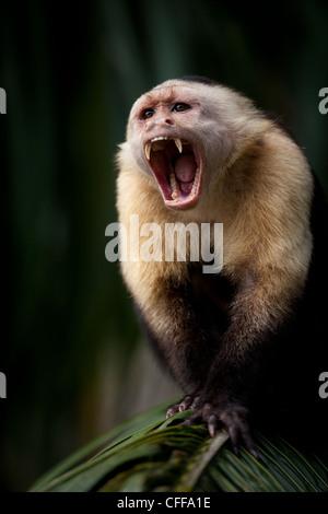 White-faced Capuchin, Cebus imitator, alpha male, on an island in Gatun lake, Republic of Panama. - Stock Photo