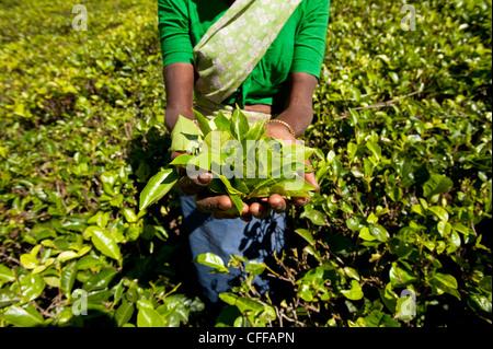 Tamil tea picker's handful of freshly plucked tea leaves in Sri Lanka's hill country of Nuwara Eliya - Stock Photo