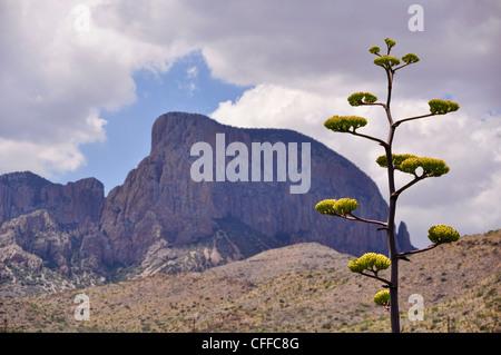 A Century Plant adorns the mountainous landscape of Big Bend National Park. - Stock Photo