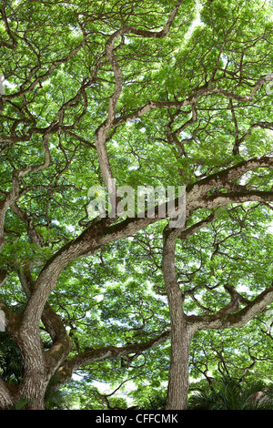An image of the underside of a large tree canopy in Waimea, Hawaii. - Stock Photo