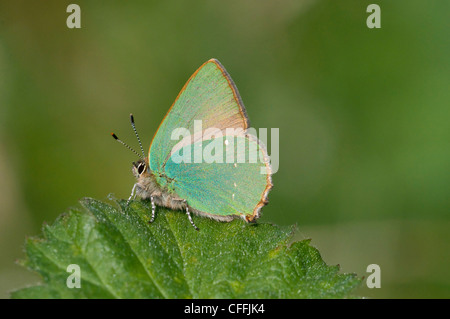Green hairstreak butterfly, Callophrys rubi, side on showing excellent detail, South Downs, Sussex, UK - Stock Photo