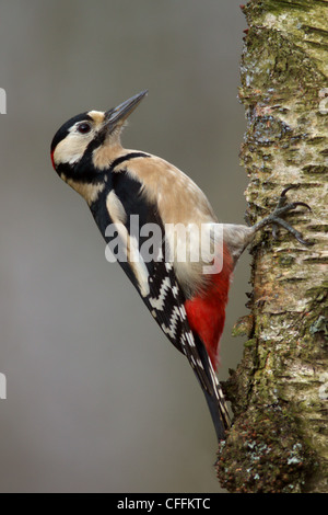 A male Great Spotted Woodpecker (Dendrocopos major) in spring breeding colours on a silver birch tree - Stock Photo