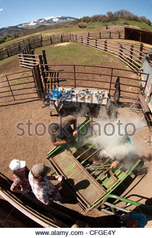 Fish eye view of a calf being branded at a Colorado ranch. - Stock Photo