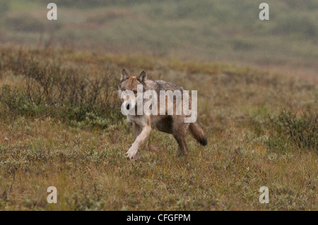 Gray Wolf (Canis lupus) hunting across the tundra of Denali National Park, Alaska - Stock Photo
