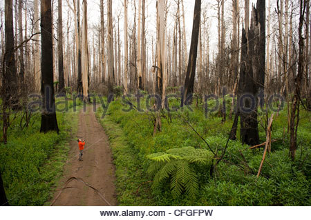 A hiker in fire destroyed mountain ash eucalyptus forest. - Stock Photo
