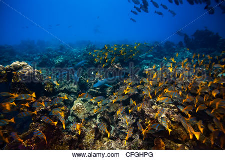 A tiger shark observes its prey, the white tip reef shark, from afar. - Stock Photo