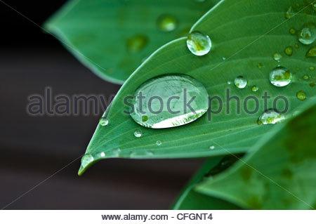 Water droplets on a blue cadet hosta leaf. - Stock Photo