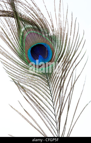Peacock feather on white background Stock Photo