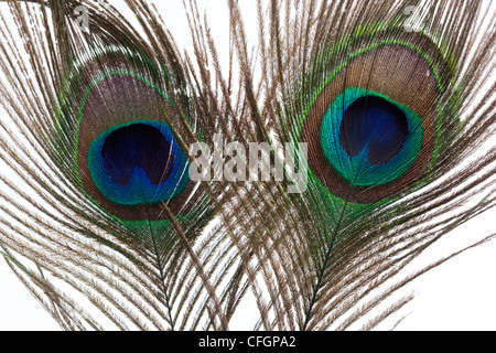 Two Peacock feathers on white background - Stock Photo