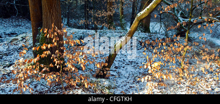 Copper Red Beech leaves severe frost in mid-winter Cannock Chase AONB (area of outstanding natural beauty) in Staffordshire - Stock Photo