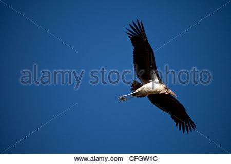 Maribou Stork, Leptoptilos crumeniferus, in flight over the Masai Mara - Stock Photo