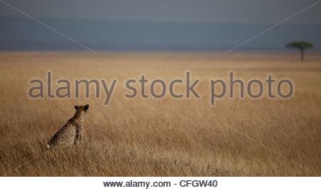 Cheetah looking across the plains to a lone tree, Masai Mara - Stock Photo