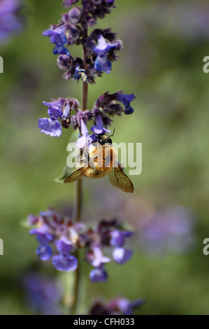 Bumblebee extracting pollen from blue and purple flowers - Stock Photo