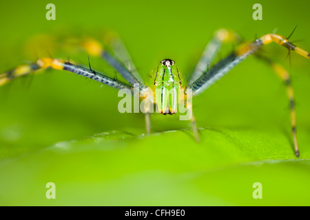 Malagasy green lynx spider. Masoala Peninsula National Park, north east Madagascar. - Stock Photo