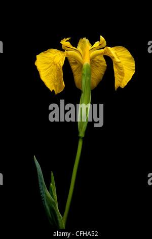 Yellow Flag Iris, Isle of Mull, Scotland. June. - Stock Photo