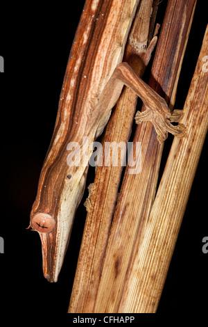Lined Leaf-tailed Gecko camouflaged amongst dead palm fronds, hunting invertebrate prey at night. Masoala Peninsula, - Stock Photo