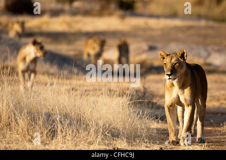 Lion's pride on the move - Stock Photo
