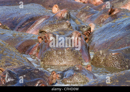 Hippo wallowing in crowded pool - Stock Photo