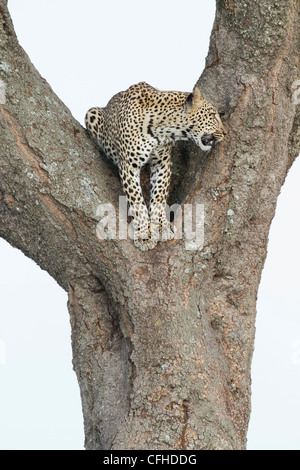 Leopard sitting in the 'V' of a tree in Tanzania - Stock Photo