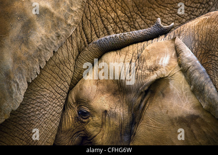 Young African elephant with mother, Cabarceno, Spain - Stock Photo