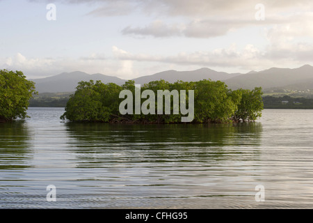 Mangrove off Sainte-Rose, island of Basse-Terre, Guadeloupe (971) - Stock Photo