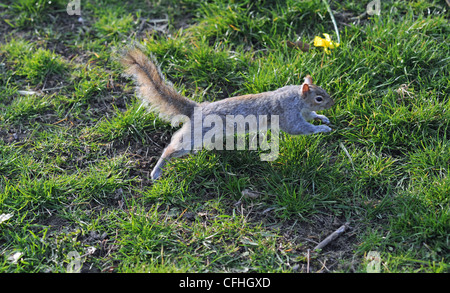 Grey squirrel leaping in Queens Park Brighton Sussex UK - Stock Photo
