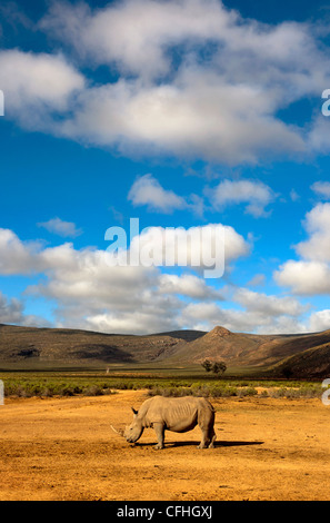 White Rhinoceros in landscape, South Africa - Stock Photo