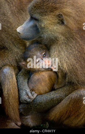 Guinea Baboon with infant, Cabraceno, Spain - Stock Photo