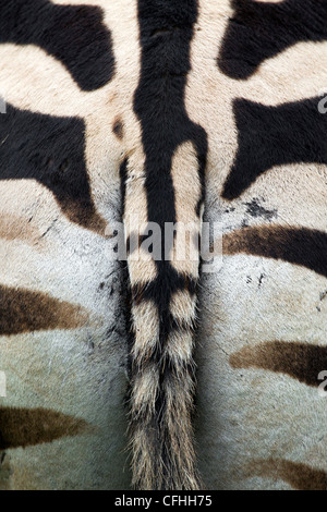 Zebra close up, Cantabria, Spain - Stock Photo