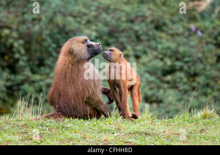 Guinea baboon and young, Cabarceno, Spain - Stock Photo