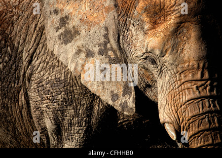 African elephant portrait, Cabarceno, Spain - Stock Photo