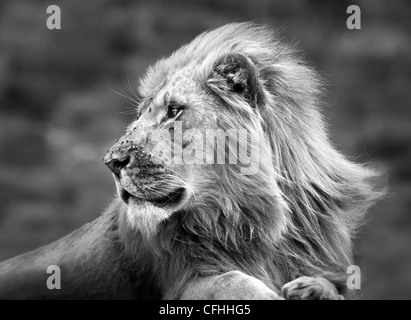 African lion portrait, South Africa - Stock Photo