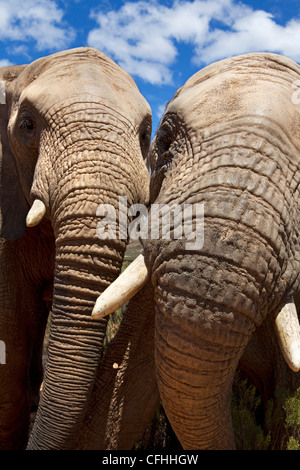 Close up of two african elephants, South Africa - Stock Photo