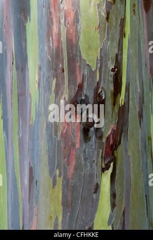 Rainbow Eucalyptus tree in Kauai, Hawaii. - Stock Photo