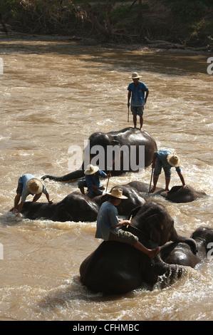 Elk208-4401v Thailand, Chiang Dao, Maetaman Elephant Camp, elephants bathing in river - Stock Photo